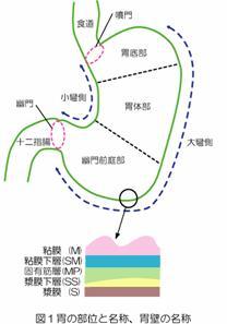 図1胃の部位と名称、胃壁の名称